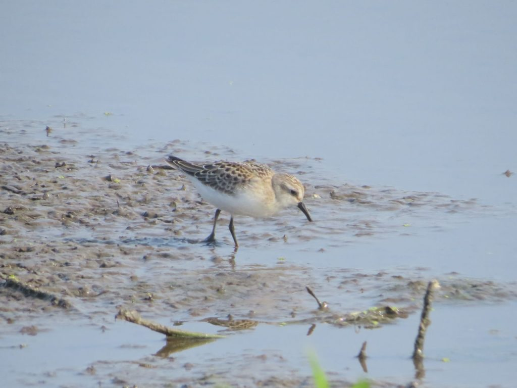 Semipalmated Sandpiper - Photo Lisa Phelps