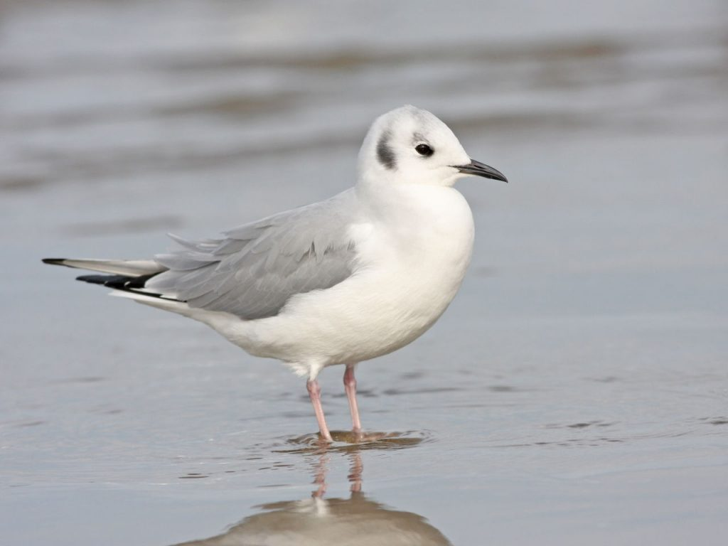Bonaparte's Gull - Photo Earl Harrison