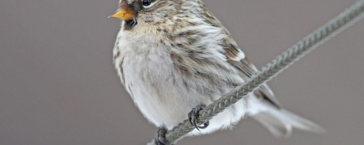 Common Redpoll - Photo Earl Harrison