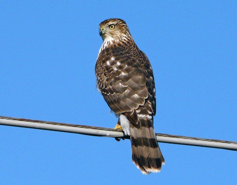 Coopers Hawk - Photo Earl Harrison