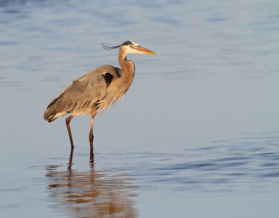 Great Blue Heron - Photo Earl Harrison