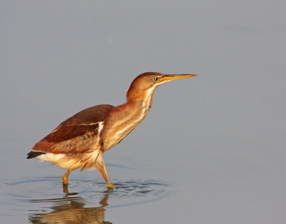 Least Bittern - Photo Earl Harrison