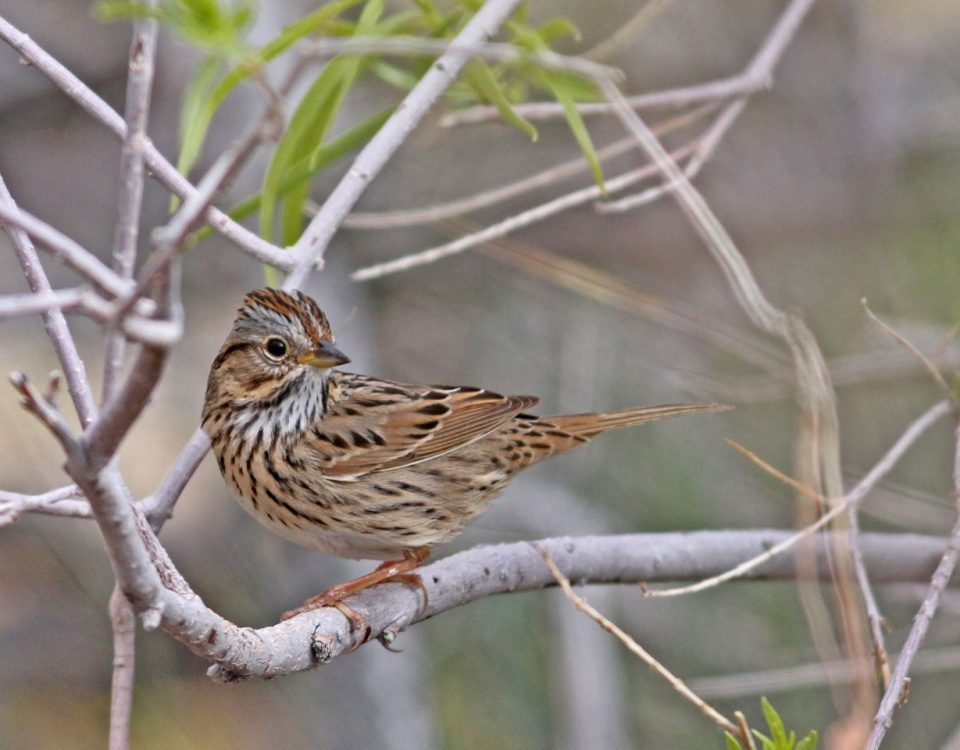 Lincoln's Sparrow - Photo Earl Harrison