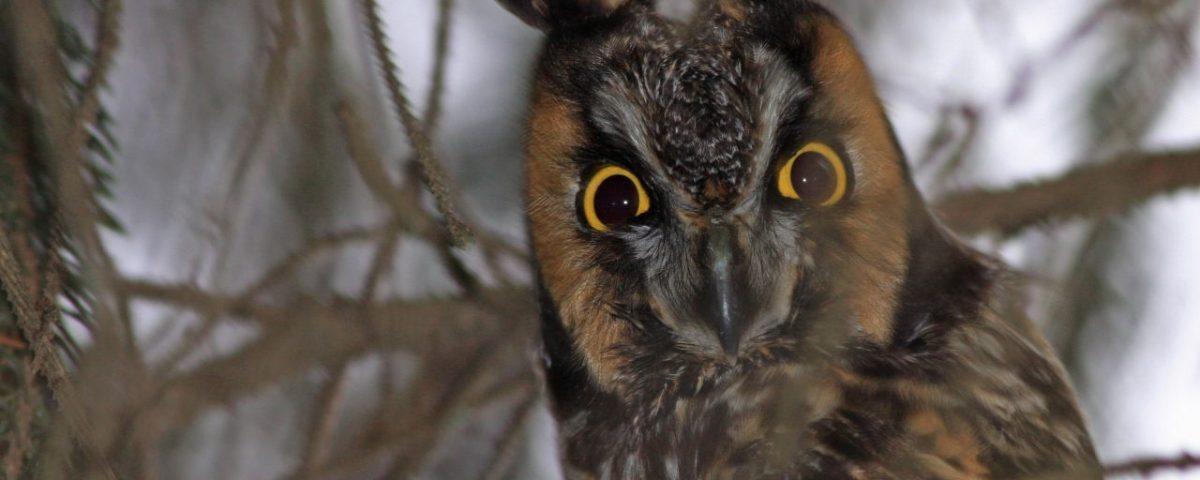 Long-eared Owl Closeup - Photo Earl Harrison