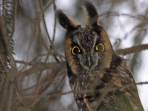 Long-eared Owl Closeup - Photo Earl Harrison
