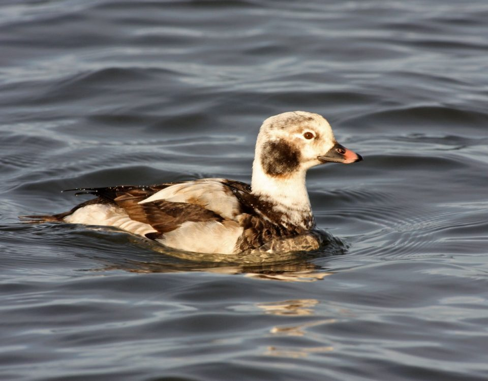 Long-tailed Duck - Photo Earl Harrison