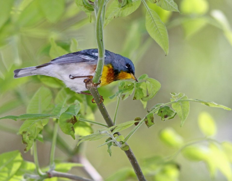 Northern Parula - Photo Earl Harrison