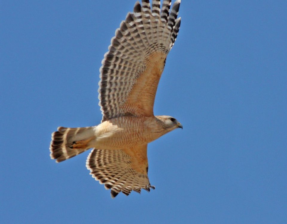 Red-shouldered Hawk - Photo Earl Harrison