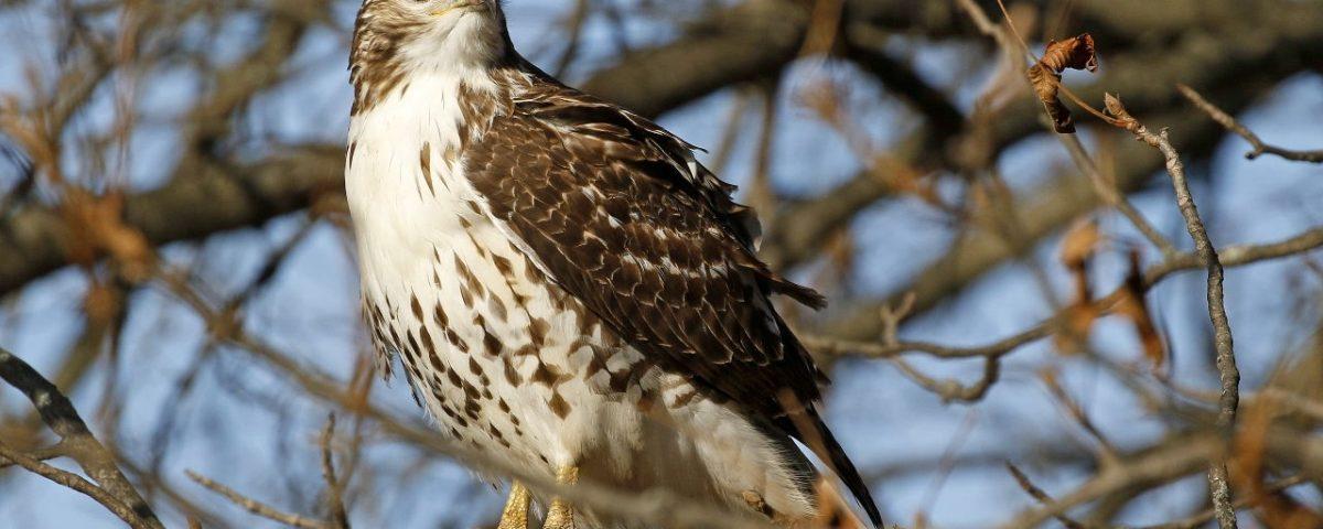 Red-tailed Hawk - Photo Earl Harrison
