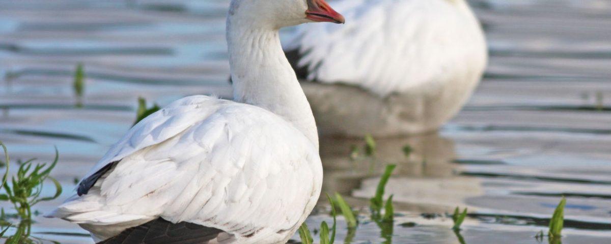 Ross's Goose - Photo Earl Harrison