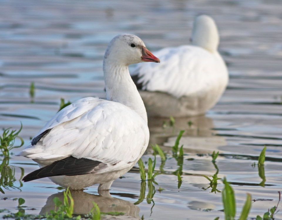 Ross's Goose - Photo Earl Harrison