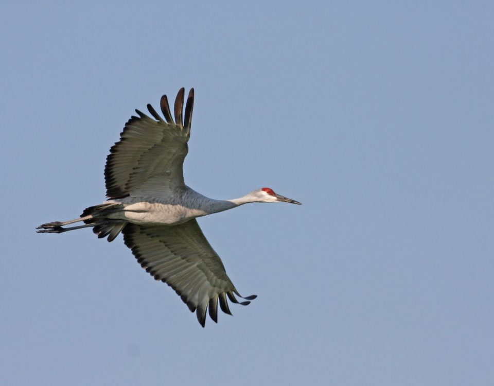 Sandhill Crane Soaring - Photo Earl Harrison