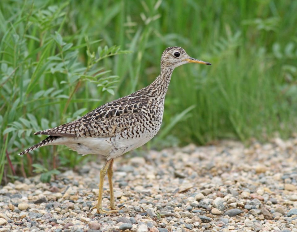 Upland Sandpiper - Photo Earl Harrison