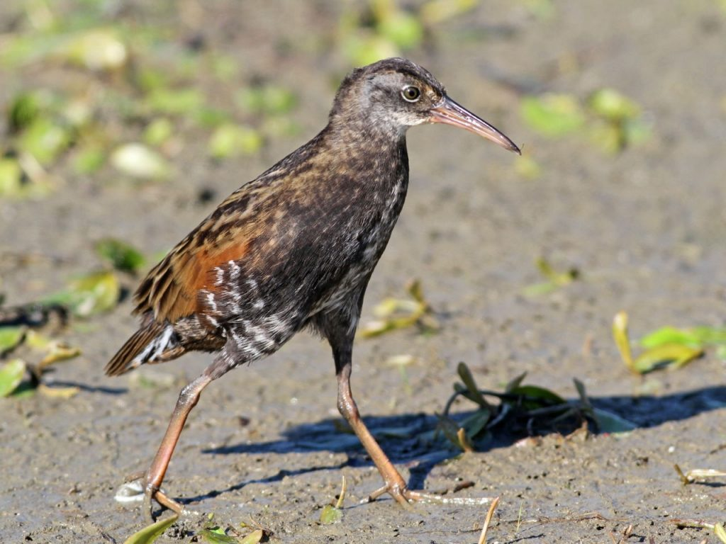 Virginia Rail - Photo Earl Harrison