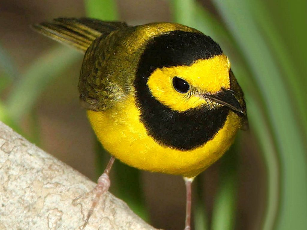 Hooded Warbler - Photo Alan Schmierer