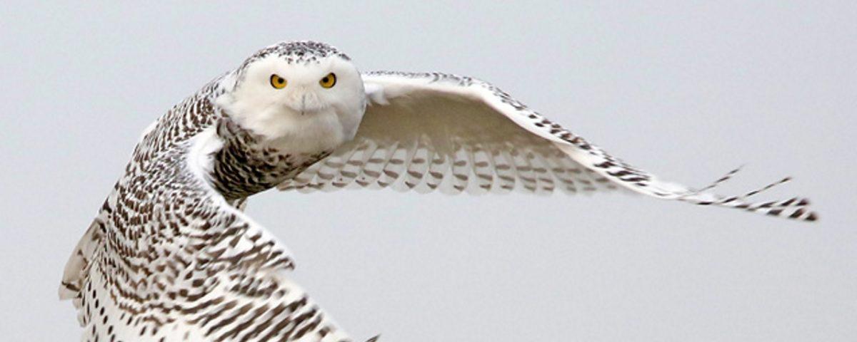Snowy Owl Head On - Photo Earl Harrison