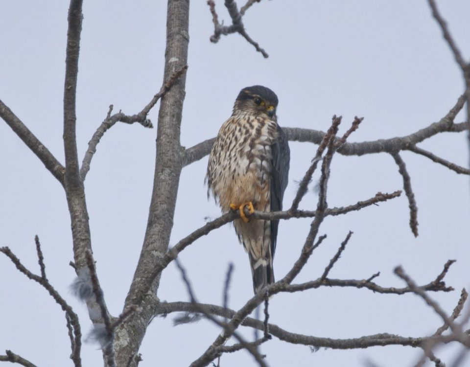 Merlin at Delaware State Park - Photo Rich Bradley