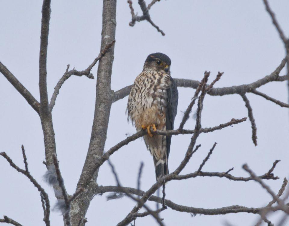 Merlin at Delaware State Park - Photo Rich Bradley