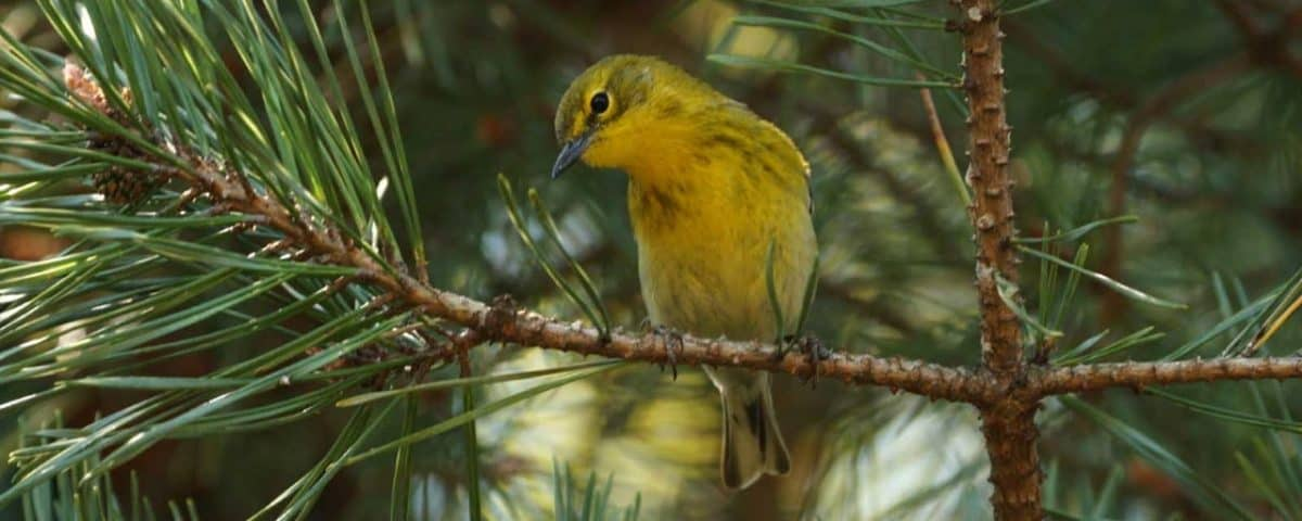 Pine Warbler - Photo USFWS