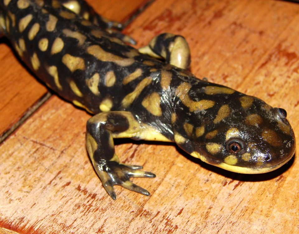 Eastern Tiger Salamander - Photo Matt Reinbold