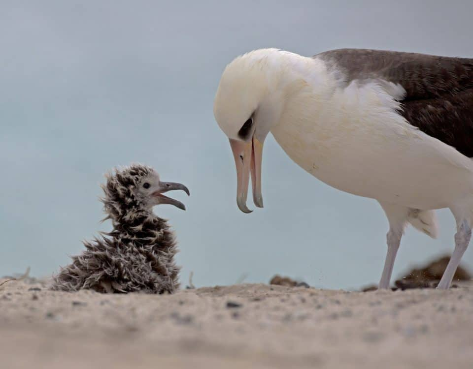 Laysan Albatross Mother and Chick - Photo National Marine Sanctuaries