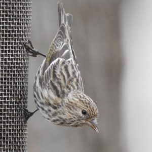Pine Siskin - Photo Katelyn Shelton