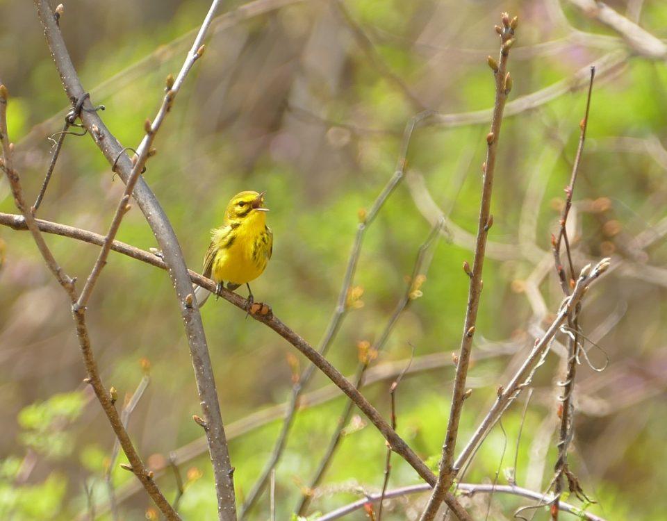 Singing Prairie Warbler by James Muller