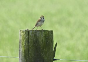 Savannah Sparrow - Photo Kate Jones-Orr