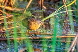 Virginia Rail - Photo Vicki Chorman