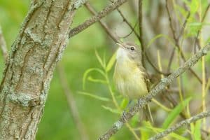 Bell's Vireo - Photo Steve Jones