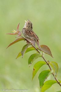 Henslow's Sparrow - Photo Steve Jones