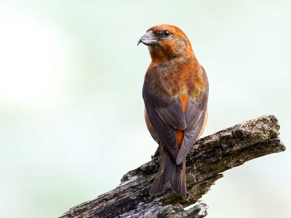 Red Crossbill - Photo Mick Thompson