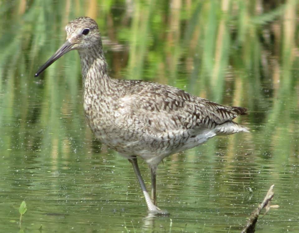 Willet by Corinna Honschied