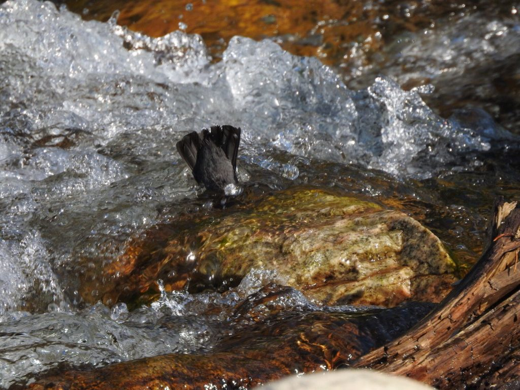 American Dipper: Tails Up! - Photo Katelyn Shelton