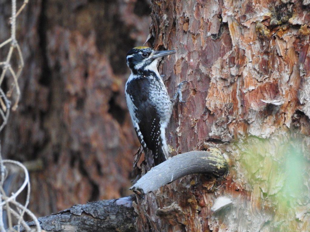American Three-toed Woodpecker - Photo Katelyn Shelton