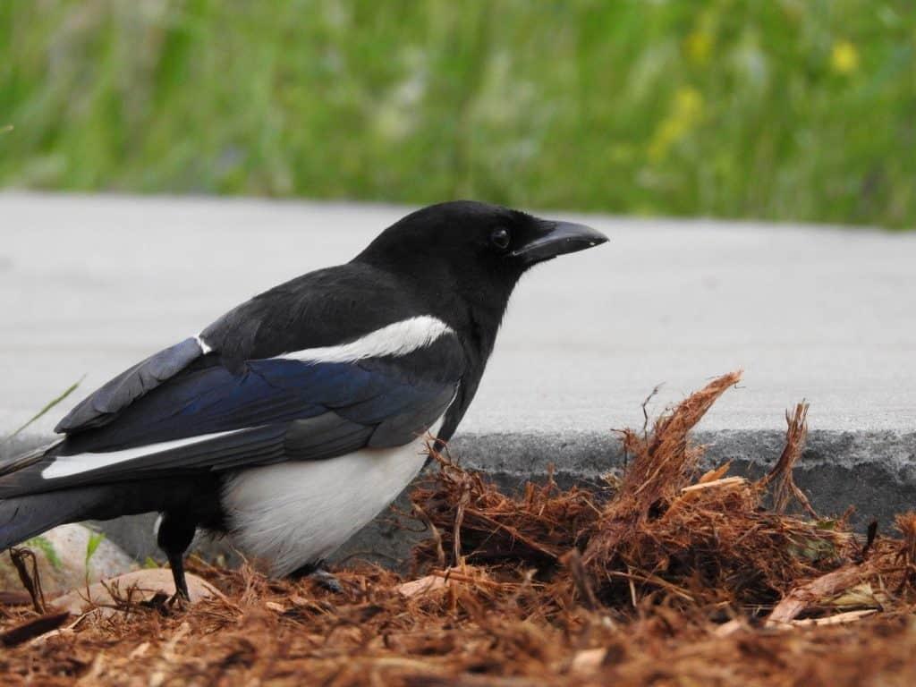 Black-billed Magpie - Photo Katelyn Shelton