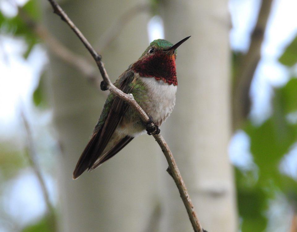 Broad-tailed Hummingbird - Photo Katelyn Shelton