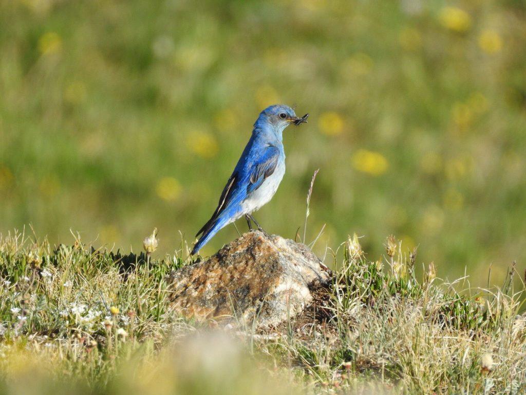 Mountain Bluebird - Photo Katelyn Shelton