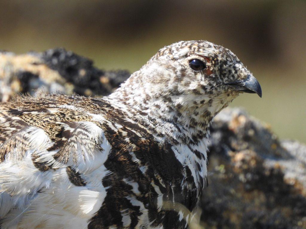 White-tailed Ptarmigan - Photo Katelyn Shelton