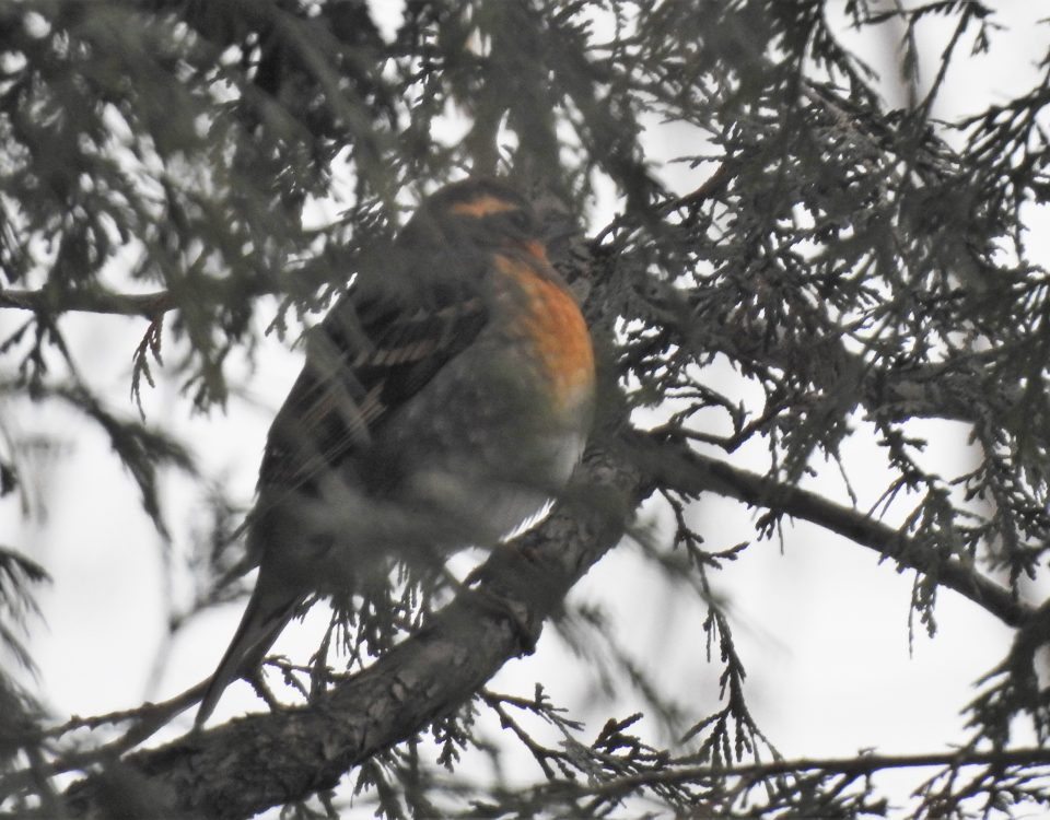 Varied Thrush by Lisa Phelps