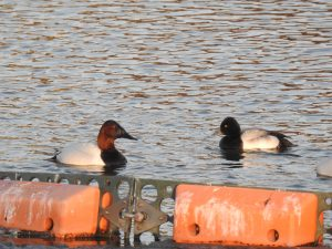 Diving ducks by Lisa Phelps