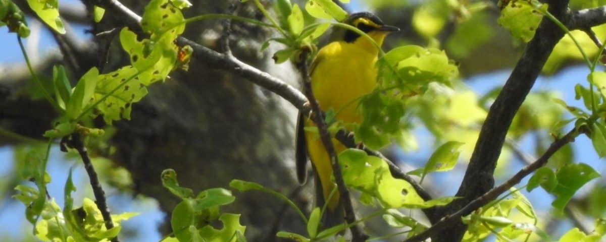 Kentucky Warbler - Photo Lisa Phelps