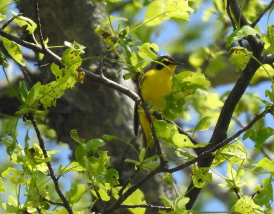 Kentucky Warbler - Photo Lisa Phelps