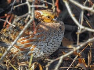Northern Bobwhite at Killdeer