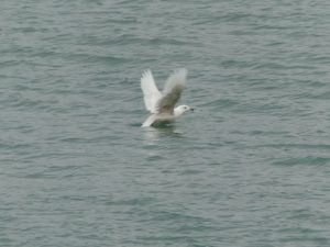 Iceland Gull Cleveland Lakefront Nature Preserve by Susan Brauning