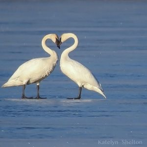 Trumpeter Swans at Killdeer - Katelyn Shelton