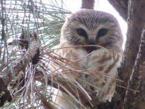 Northern Saw-whet Owl by Corinna Honscheid