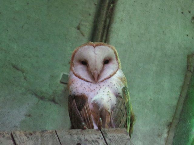 Barn Owl by Corinna Honscheid