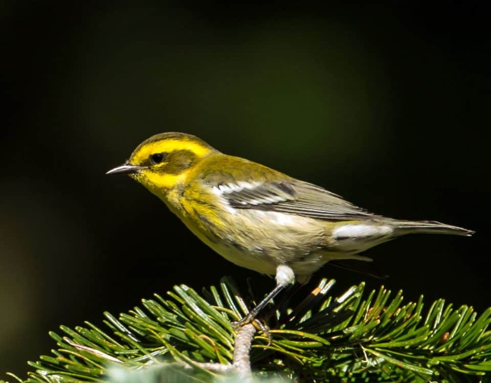 Townsends Warbler - Photo Mick Thompson