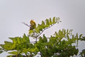 Prairie Warbler by James Muller